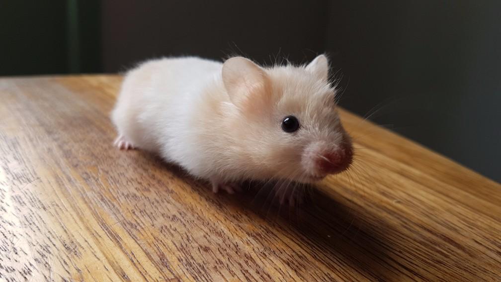 hamster-caramel-witband Vachtsoorten