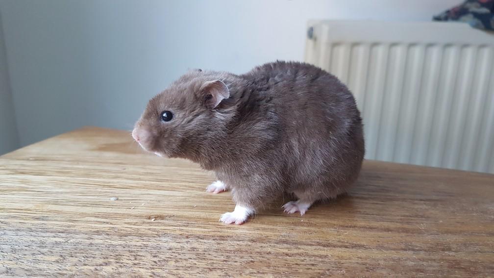 hamster-chocolade Kleuren