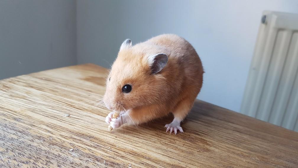 hamster-creme Kleuren