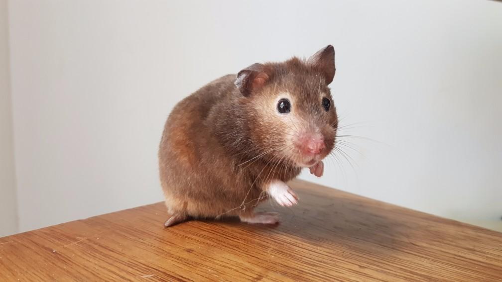 hamster-donker-sepia Kleuren