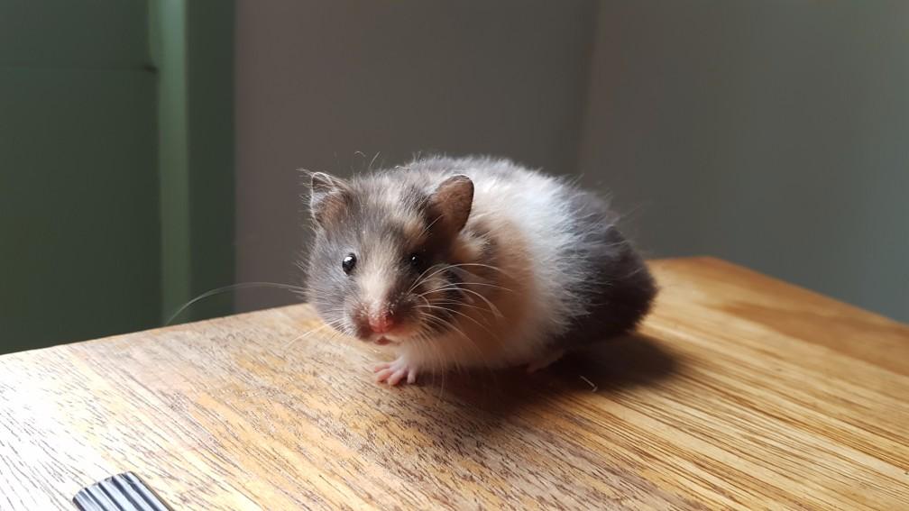 hamster-driekleur Kleuren