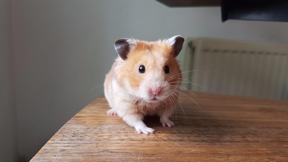 hamster-geel Kleuren