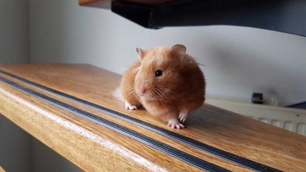 hamster-mink Kleuren