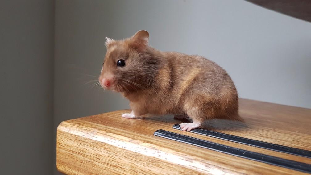hamster-schildpad Kleuren