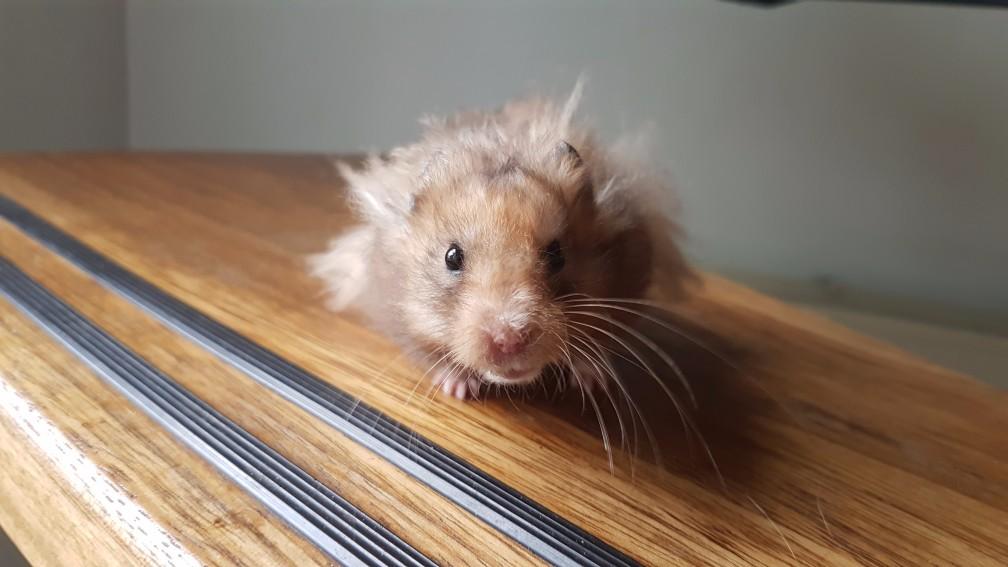 hamster-yellowblack Kleuren