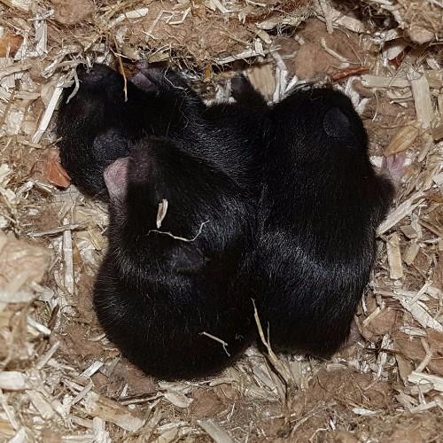 hamsters-nest-a1-5 Nestjes