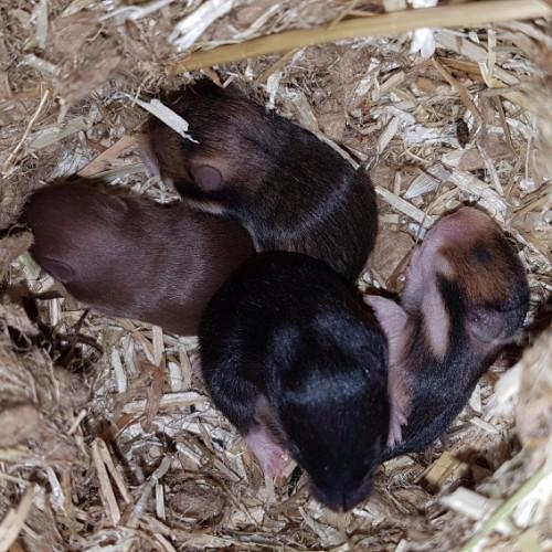 hamsters-nest-d1-4 Nestjes