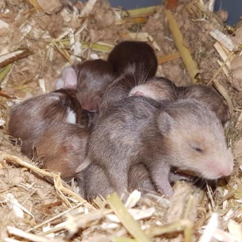 hamsters-nest-e1-6 Nestjes