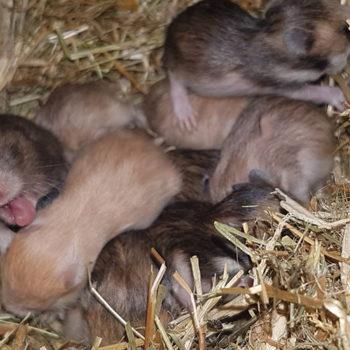 hamsters-k1-nest-2-350x350 Nieuws